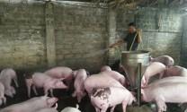 Nơi dịch tả lợn Châu Phi... chừa ra!