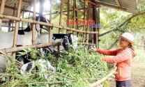 Bình Phước: Phụ nữ Lộc Thành liên kết làm giàu
