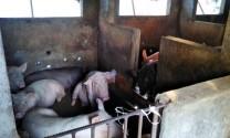 Quảng Nam: Chăn nuôi trong khu dân cư gây ô nhiễm