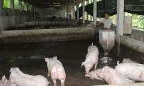Hà Nội: Kiểm tra, xử lý vi phạm về xả thải trong chăn nuôi