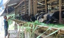 Bắc Giang: Liên kết trong chăn nuôi dê để cùng phát triển