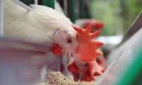 """Anh: Khó hợp tác với Mỹ về dự án """"Thịt gà khử trùng bằng Clo"""""""