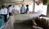 Ninh Thuận công bố dịch tả lợn châu Phi