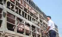 Đồng Nai: Heo hơi sốt giá, lo thiếu nguồn cung mùa Tết