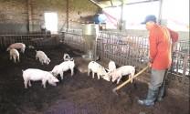 """""""Sống khỏe"""" nhờ nuôi lợn an toàn sinh học"""