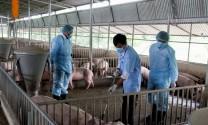 Ninh Thuận: Khẩn trương khống chế dịch tả lợn châu Phi xuất hiện tại huyện Ninh Sơn