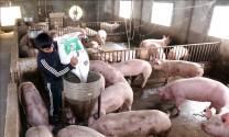 Phát triển chăn nuôi lợn, gia cầm an toàn sinh học