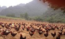 Lâm Đồng: Nuôi gà Lạc Thủy trên nền đệm lót sinh học
