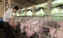 Hà Nội đã khống chế được hơn 1/2 số ổ dịch tả lợn châu Phi