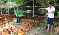 Phát triển chăn nuôi gia cầm: Cân nhắc quy mô hợp lý