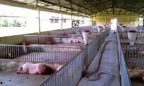 Kinh nghiệm phòng, chống bệnh tả lợn châu Phi từ Hà Lan: Đề cao trách nhiệm của người chăn nuôi