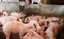 Bình Thuận: Dịch tả lợn châu Phi gây tổn thất nặng cho người chăn nuôi