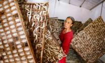 Lâm Đồng: Giá kén tằm giảm mạnh