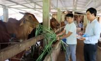 Yên Bái: Hiệu quả mô hình nuôi vỗ béo bò thịt tại các vùng chăn nuôi chính