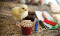Trung Quốc: Chống kháng kháng sinh ở gà