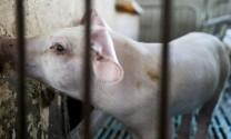Nhật Bản tiêu hủy gấp 753 con lợn để ngăn ổ dịch bùng phát