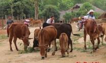 Nâng cao hiệu quả chăn nuôi bằng phương pháp thụ tinh nhân tạo
