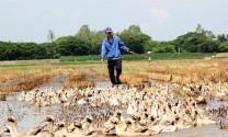 Hậu Giang: Thu nhập khá từ việc nuôi vịt thả ruộng