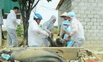 Hà Tĩnh: Đức Thọ tiêu hủy hơn 6 tấn thịt lợn bị dịch tả Châu Phi