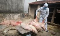 Quỳnh Lưu (Nghệ An): Dịch tả lợn châu Phi tái phát nhanh, có nhà xóa sổ cả trang trại