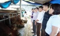 Thái Nguyên: Vỗ béo, cải tạo đàn bò thịt