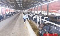 Nuôi bê đực sữa thành bò thịt - hướng đi mới trong chăn nuôi