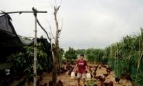 Thu nhập cao nhờ nuôi gà lai Hồ thả vườn