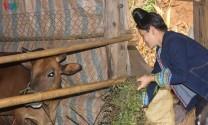 Sơn La thực hiện tái cơ cấu lĩnh vực chăn nuôi