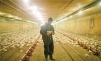 Châu Âu: 5 nguyên tắc vàng  trong dinh dưỡng chăn nuôi