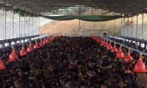 Công ty TNHH Giống gia cầm Minh Dư: Xây dựng cơ sở sản xuất giống gia cầm công nghệ cao