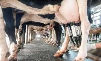 """Xuất khẩu sữa chính ngạch: Tìm cách vượt """"ranh giới"""""""