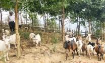 Nhân rộng mô hình hỗ trợ nuôi dê sinh sản