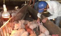 Hà Tĩnh: Cung ứng 550 ngàn liều vắc - xin gia súc, gia cầm