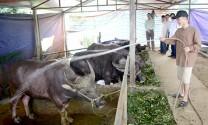 Tuyên Quang: Chủ động dự trữ nguồn thức ăn cho đại gia súc trong mùa đông