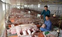 Tuyên Quang: Nhiều cơ sở chăn nuôi lớn tái đàn