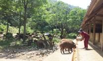 """Vĩnh Phúc: Lợn rừng vẫn đứng vững trong """"siêu bão"""" bệnh dịch Tả lợn châu Phi"""