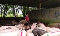 Giá heo hơi hôm nay 8/10: Lập đỉnh 61.000 đồng/kg, lái săn lợn ráo riết