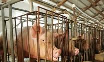 Tăng cường biện pháp kỹ thuật trong chăn nuôi