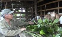 Thu nhập cao nhờ trồng mít Thái kết hợp chăn nuôi dê