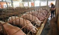 Cục Chăn nuôi: Giá lợn tăng không phải do nhập siêu sang Trung Quốc