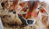 Tuyên Quang: Ứng dụng công nghệ cao trong chăn nuôi