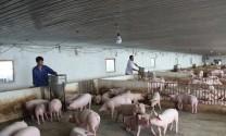 Giảm dần chăn nuôi nông hộ