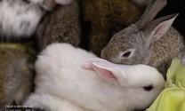 Phòng và điều trị bệnh viêm mũi ở thỏ