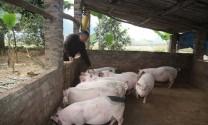 Hòa Bình: Một huyện chỉ có gần 300 con lợn nhiễm dịch