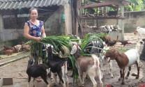 Bình Định: Thu nhập khá từ nuôi dê nhốt chuồng