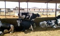 Nấm men sống chống lại stress nhiệt ở bò
