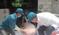 10 xã, phường ở Hà Tĩnh tái phát dịch tả lợn châu Phi, tiêu hủy gần 800 con