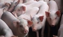 Có giải pháp để ổn định giá thịt heo