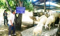 Khánh Hòa: Cải tạo đàn dê, cừu