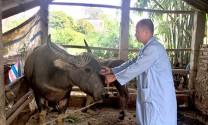 Tuyên Quang tiêm phòng vụ Thu - Đông: Gặp khó do dịch tả lợn châu Phi bủa vây